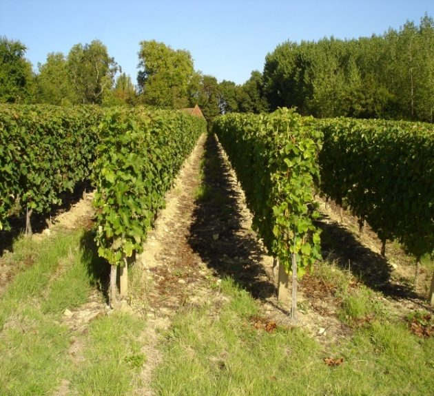 Fleur Jonquet Vines