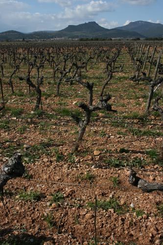 Vines Languedoc