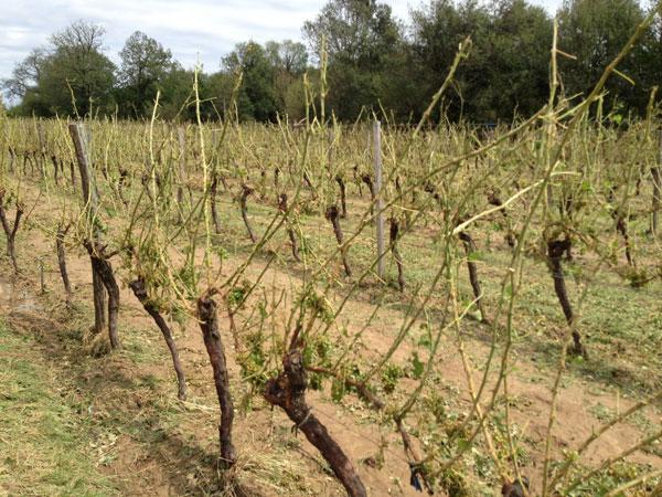 Bordeaux Entre Deux Mers hail damage
