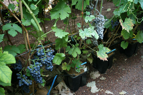 vines, wine, grapes,