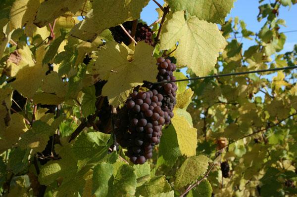 grape variety, Gewurztraminer Alsace