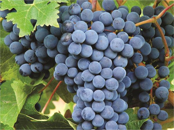 Wines of Argentina, Wines of Argentina Bonarda