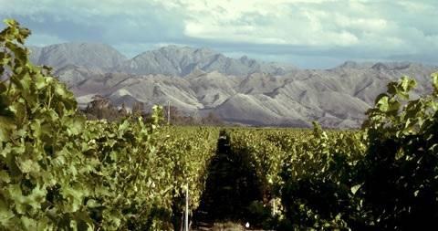 Ara vineyard