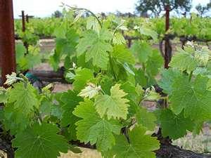 Murray Valley vines