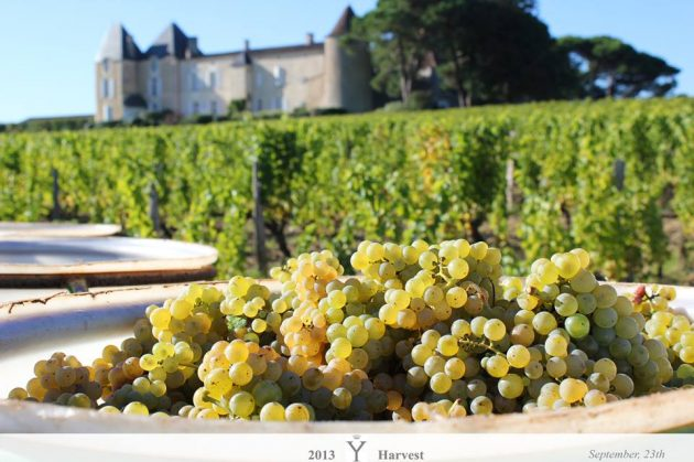 2013 harvest, 2013 vendanges, harvest, Chateau d'Yquem 2013 harvest