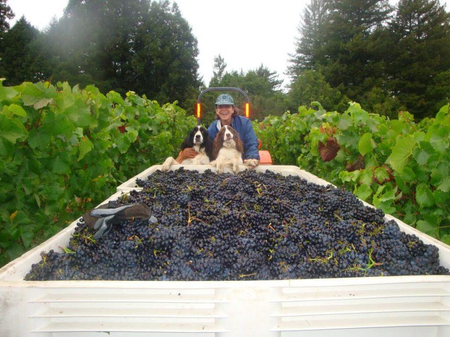 harvest 2013, 2013 harvest, Marimar Torres harvest 2013