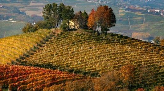 Piedmont vines