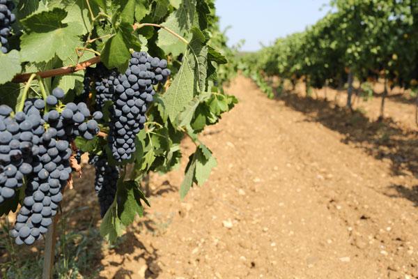 Esse Vineyard Ukraine
