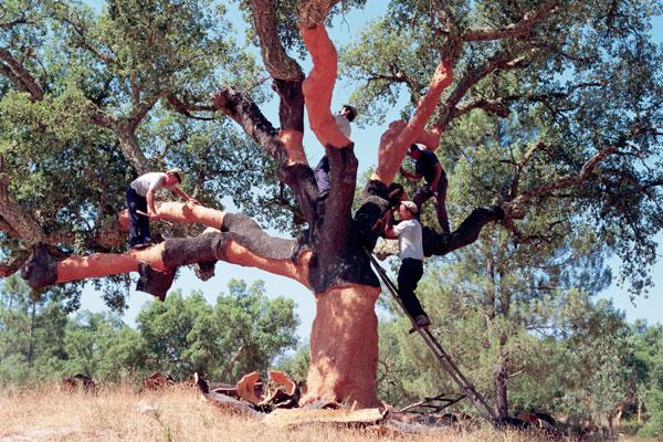 Debating Diam, cork tree