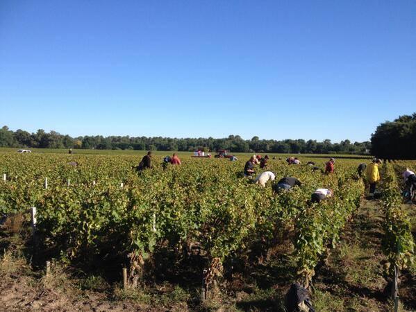 2013 harvest, 2013 vendanges, harvest, Domaine de Chevalier harvest 2013