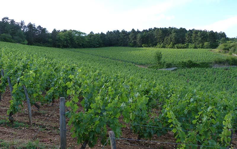 Giboulot vines beaune