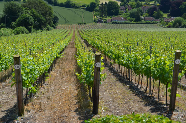 Hambledon Vineyard, English winery, English vineyard,