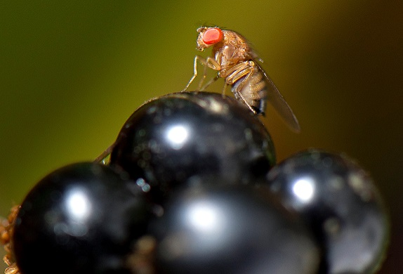 Grape rotting fruit fly raises alarm in German vineyards ... Biggest Insect In The World