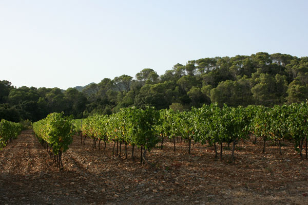 Vines at end summer Pic St Loup