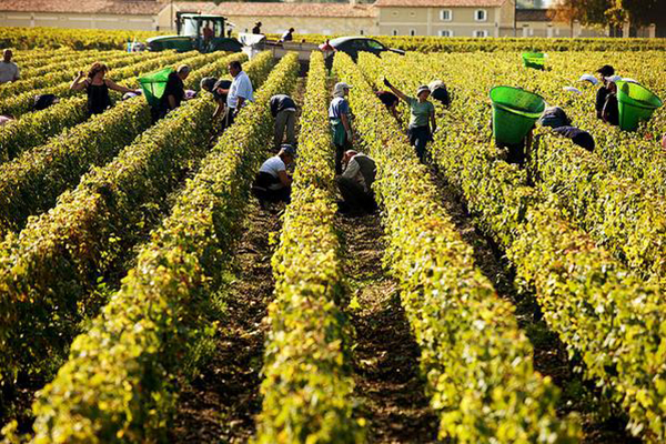 bordeaux harvest