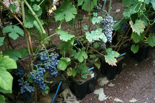 vines, wine, grapes,