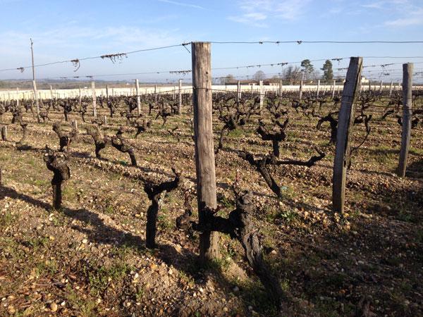Bordeaux Sauternes vineyards