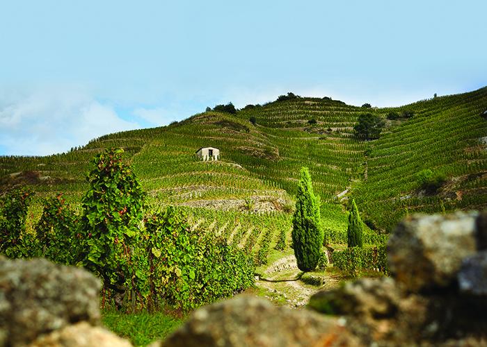 Les Bessards vineyards, Northern Rhone,