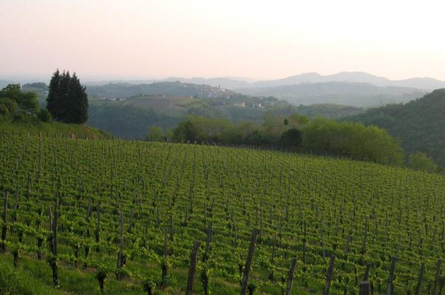 Slovenia vineyards