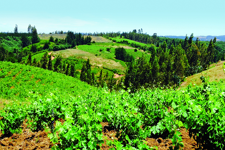 Itata Vineyard