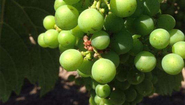 Bordeaux 2015, white wine harvest