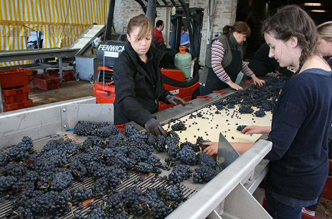 Jefford, sorting grapes at Bichot