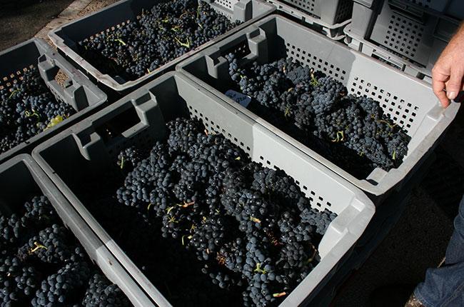 Jefford Bichot harvest, Burgundy