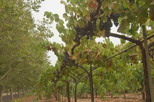 Swanson Vineyards, Napa