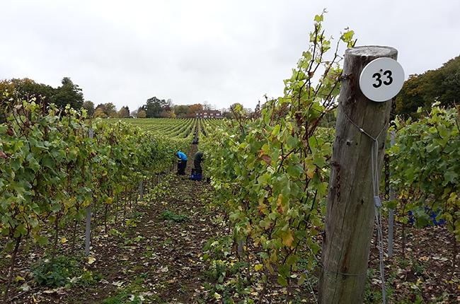 Harvesting grapes, Hambledon