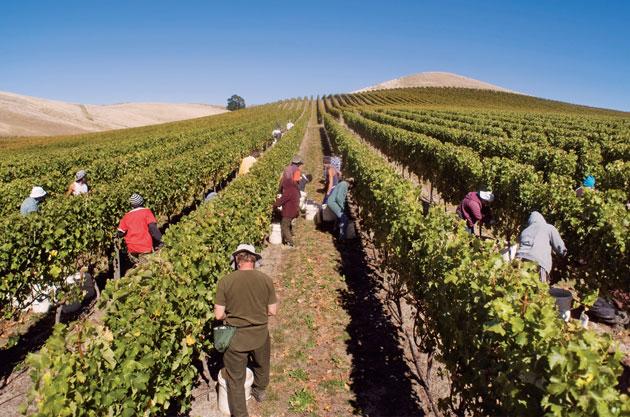 Hand-Harvest---Greywacke's-2013-Sauvignon-Blanc