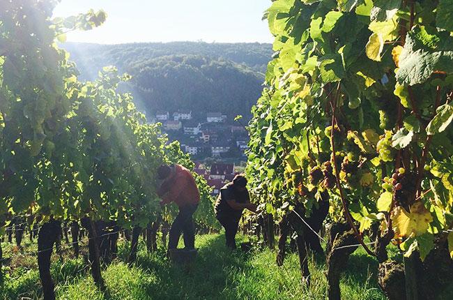 German 2015 harvest, Weingut Ewald Neder