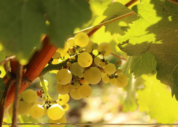 Joseph Mellot harvest, Loire