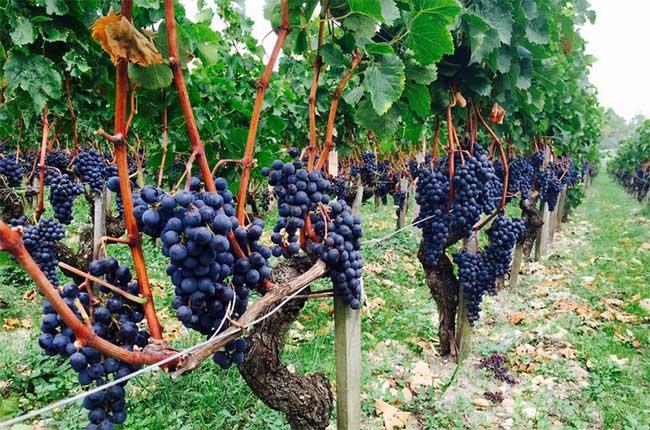 Bordeaux 2015 harvest at Chateau Latour
