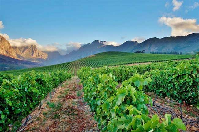 Oldenburg vineyards, Stellenbosch