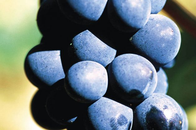 Pinot Noir grapes in Burgundy