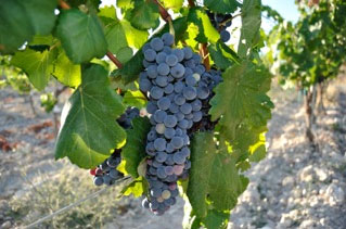 Revived wine grape variety Gonfaus
