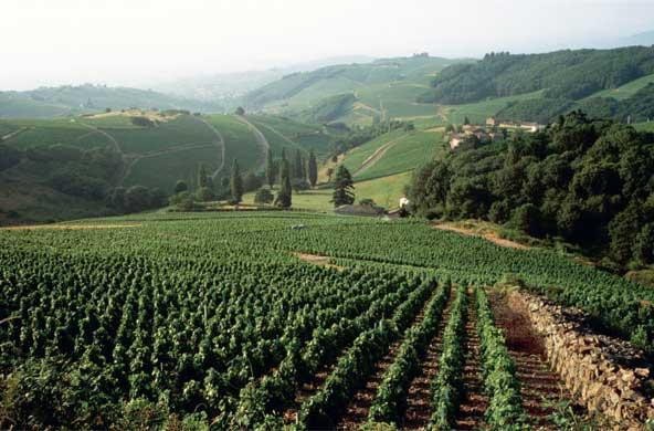Beaujolais vineyards
