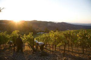 Harvest in Napa Valley