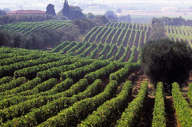 Ornellaia Bellaria vineyard