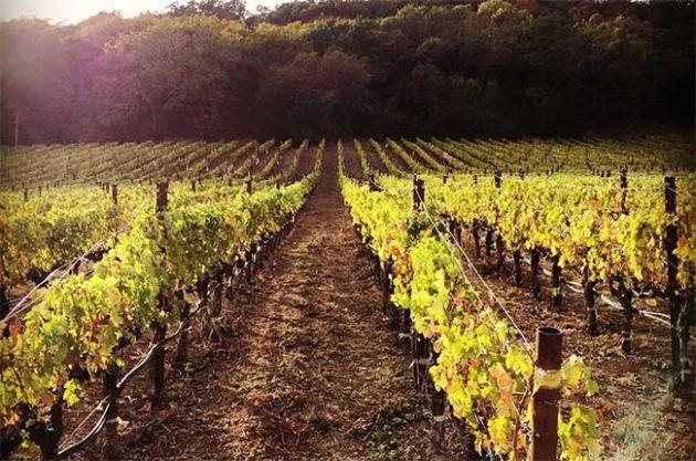 Pahlmeyer vineyards in Napa Valley, autumn 2015
