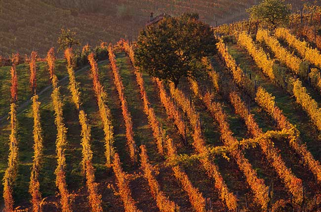 Piedmont vineyards in autumn