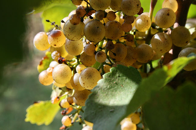 Petit Manseng grapes in Virginia