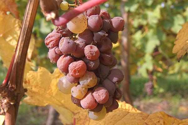 Alsace Hugel, Riesling grapes botrytis