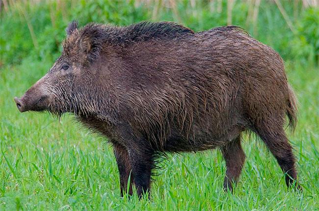 Tuscany wild boar cull
