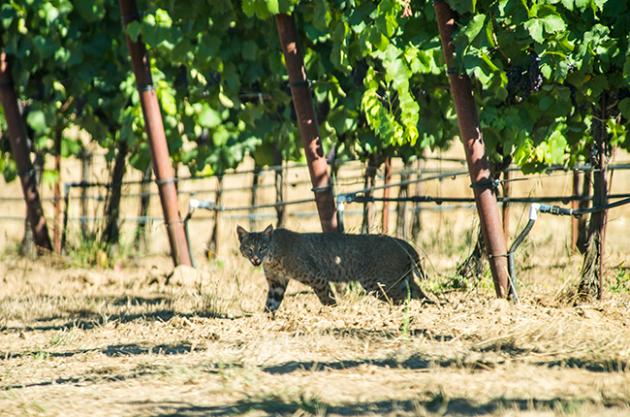 Vineyard animals, Bobcat