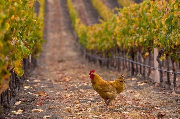 Animals in vineyards, Chickens