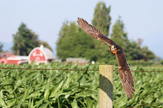 Vineyard animals, Falcon