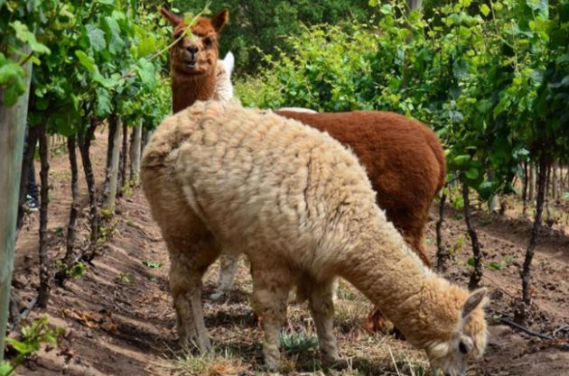 llamas, vineyard animals