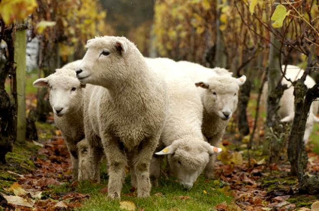 Vineyard animals, Nyetimber sheep