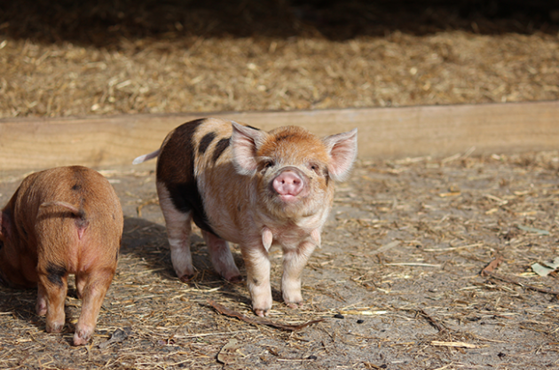 Vineyard animals, KuneKune pigs